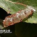 紅擬豹斑蝶殼_4826.jpg