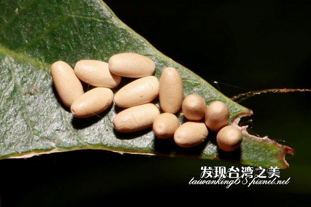 大黃葉蚤蛋