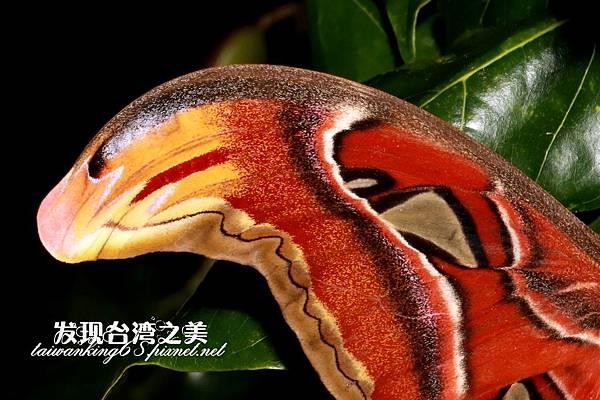 蛇頭紋 - 皇蛾