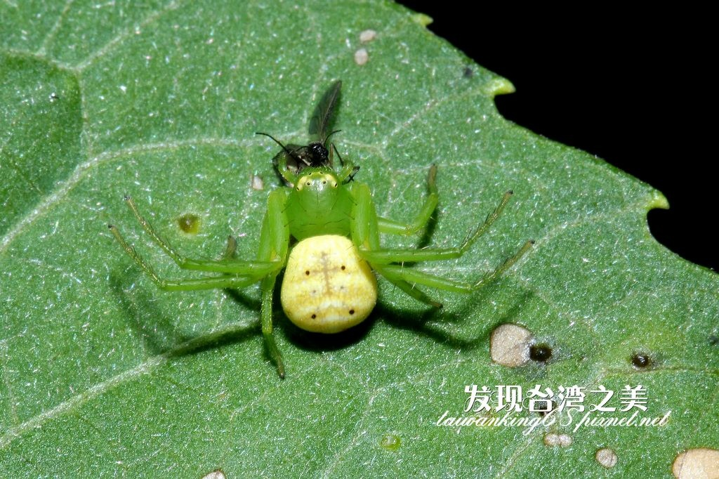 三突花蛛捕獲食蟲虻