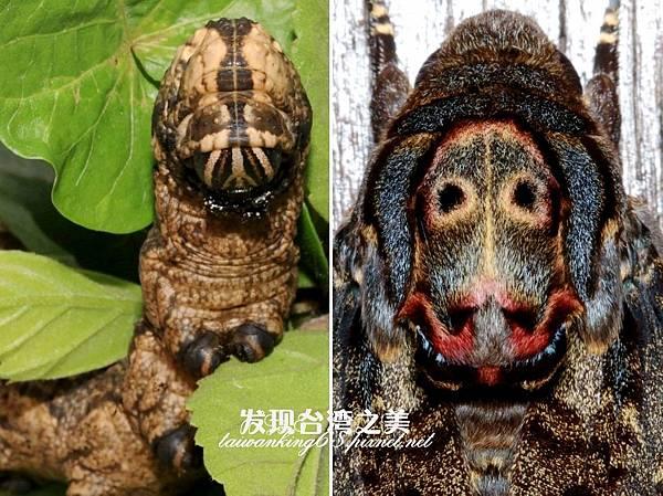 鬼面天蛾幼蟲與成蟲