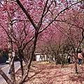新社櫻花_5245.jpg