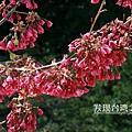 台灣山櫻花_6775.jpg
