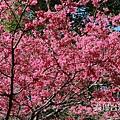 台灣山櫻花_6807.jpg