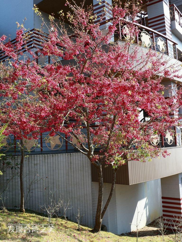 台灣山櫻花