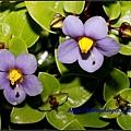紫芳草_9119.jpg