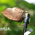 枯葉蝶_0454.jpg