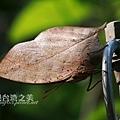 枯葉蝶_20210331