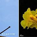 黃花風鈴木花苞