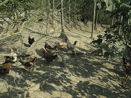 """對石虎來說,山上人家所飼養的放山雞,具有""""致命性""""的吸引力!"""
