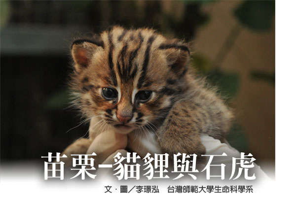 貓貍與石虎