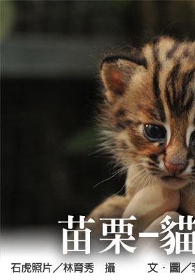 貓貍與石虎1