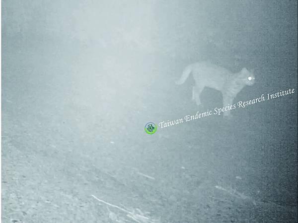 檳榔園石虎-自動相機擷取畫面(logo)