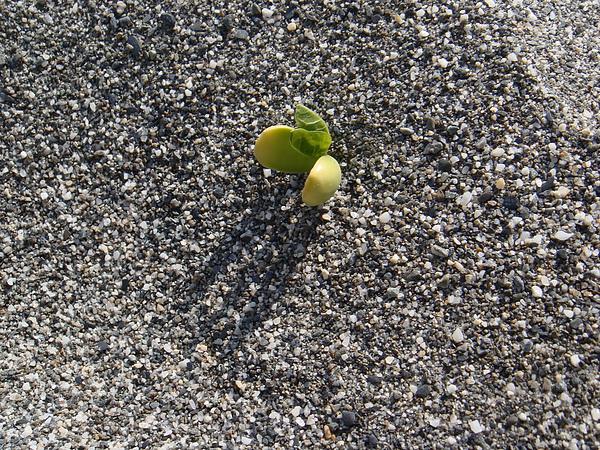 20101217‧沙灘偶遇的堅強植物