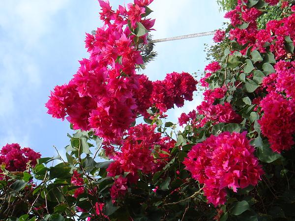 20101217‧太麻里千禧年迎曙光附近住宅種植的花