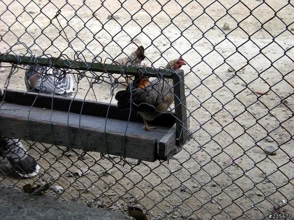 mobile01-12逃獄的小雞.jpg