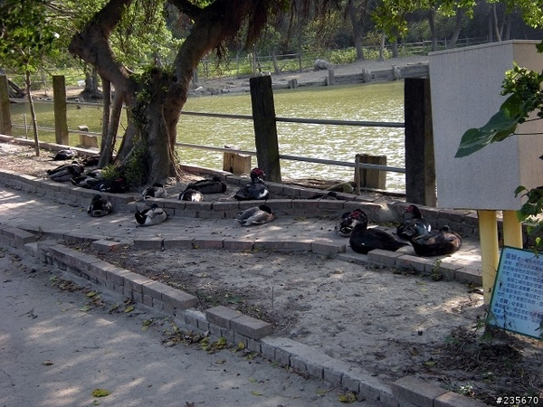 mobile01-22綠頭鴨.jpg