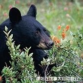 加拿大自助_黑熊