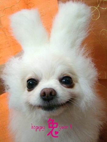 博美狗扮兔兔.jpg