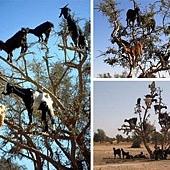 摩洛哥的羊愛爬樹