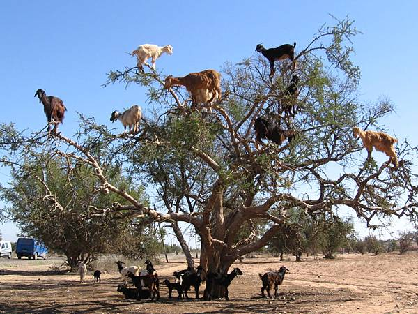 tree-goats-of-morocco