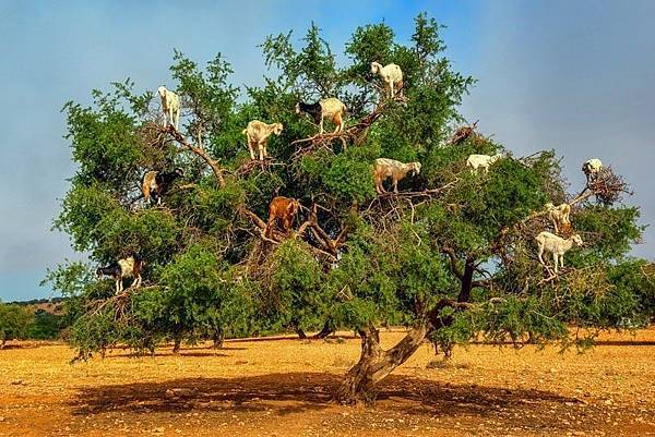 goats-argan-trees-7[6].jpg