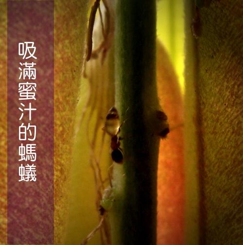吸滿蜜汁的螞蟻.jpg