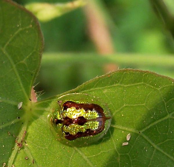 金花蟲2.JPG