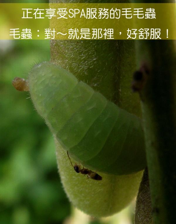 螞蟻vs毛蟲2.jpg