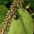 金花蟲1.JPG