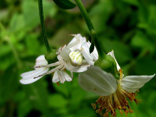 大花咸豐草上的三角蟹蛛
