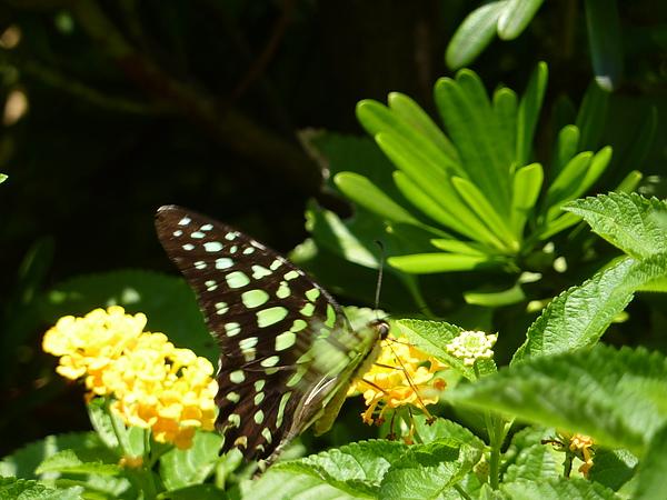綠斑蝶.JPG