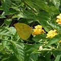 銀紋型的大黃蝶.JPG
