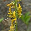 黃野百合上的波紋小灰蝶.JPG