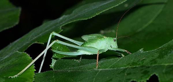台灣騷蟴(雌)若蟲5804