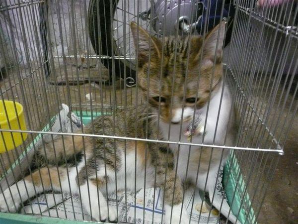 途中經過一家手工編籐店 店家小貓照