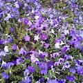 駁二舊鐵道的花卉-紫與白