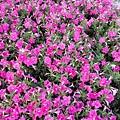 駁二舊鐵道的花卉-粉紅