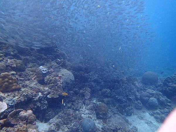 沙丁魚風暴Pescado hopping_1466.jpg