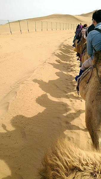 響沙灣騎駱駝 (5).jpg