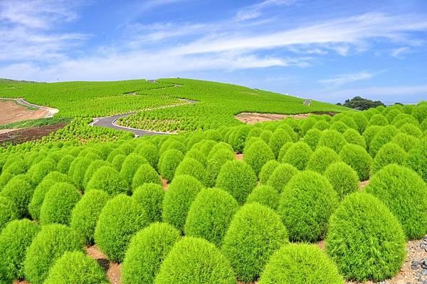【Hitachinaka】early Jun. to mid Sep.  Hitachi seside Park (Green Kochia) .jpg