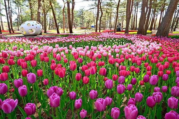 【Hitachinaka】mid to late Apr Hitachi Seaside Park (Tulip).JPG