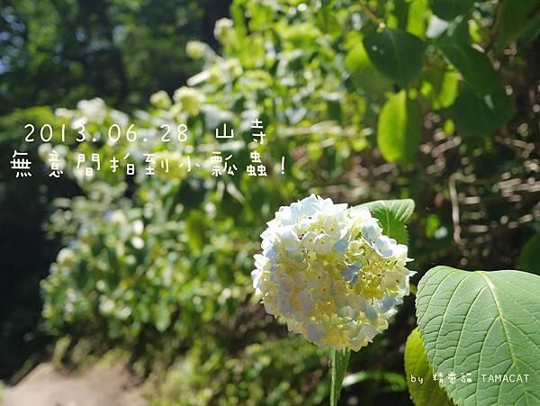 20130628_P1160111 山寺 繡球花