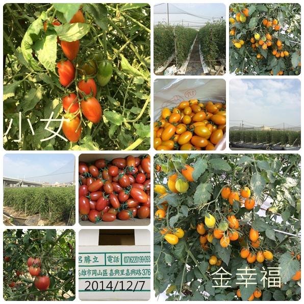 坤憲家的小蕃茄紅+黃
