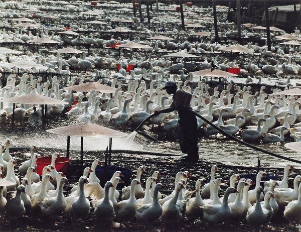 北台八縣市藝術家聯展--鄭皓仁攝影作品「養鵝采風」.jpg