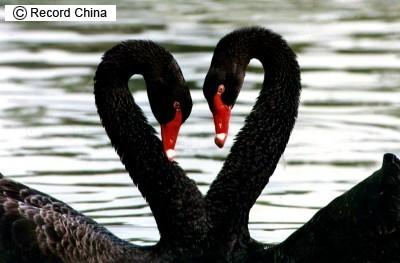心型黑天鵝