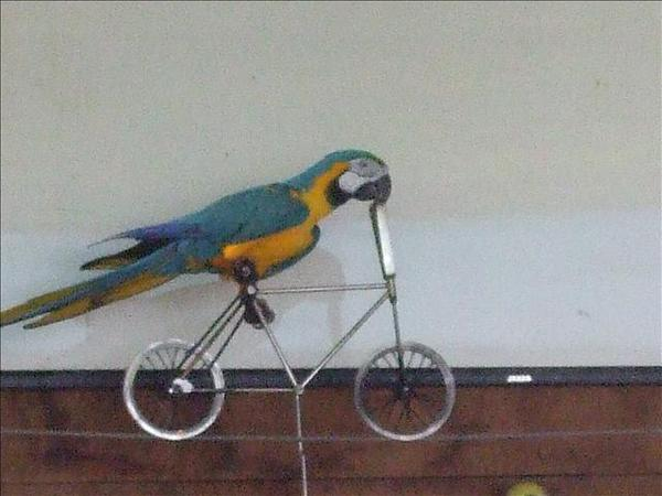 空中鸚鵡騎車XD