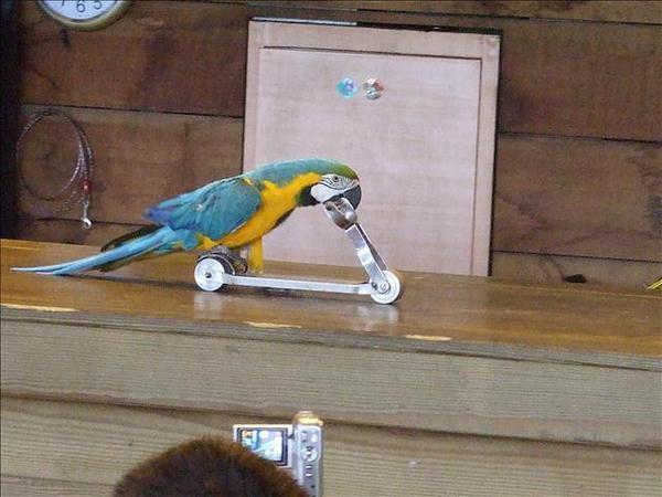 鸚鵡滑板車