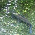熱帶雨林 象魚