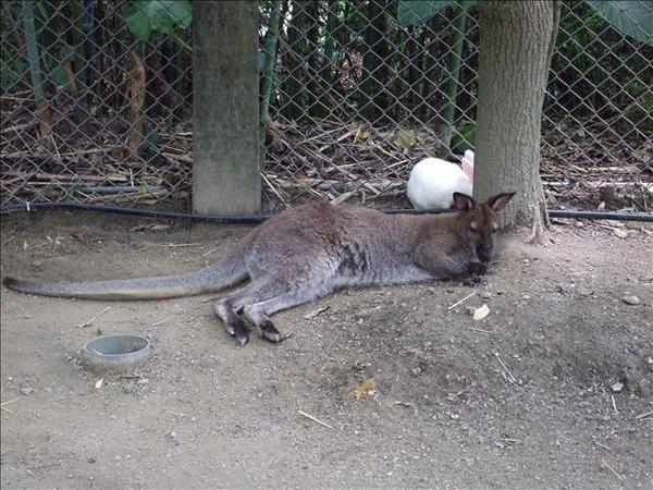 袋鼠+偽‧袋鼠